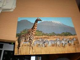 Giraffe And Zebras Kenya Air Mail - Girafes