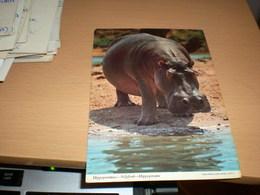 Hippopotamus Kenya Air Mail - Hippopotames