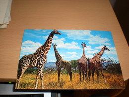 Giraffes Kenya Air Mail - Girafes