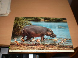 Hippopotamus And Egyptian Geese Kenya  By Air Mail - Hippopotames