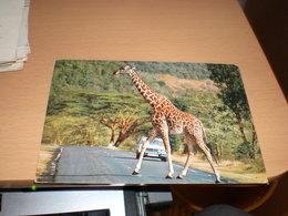 Giraffe Kenya  By Air Mail - Girafes