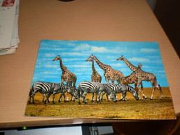 Giraffes Zebras Kenya  By Air Mail - Girafes