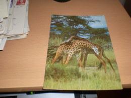 Giraffes  Kenya  By Air Mail - Girafes
