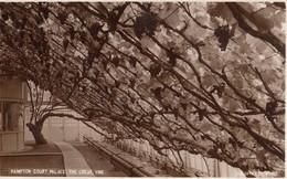 London - Hampton Court Palace - The Great Vine , Grapes - London Suburbs