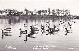 RP: Canadian Honkers In Michigan , 30-40s - Birds