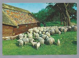 NL.- SCHAPEN. Herder. Schaapskooi. - Andere