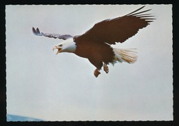 BALD EAGLE - Oiseaux
