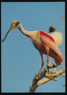 ROSEATE SPOONBILL - Oiseaux