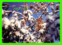 ANIMAUX - SINGES - BERBERAFFEN, MACACA SYLVANA IN THE SNOW - AFFENBERG SALEM, MENDLISHAUSEN - - Singes