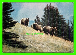 ANIMAUX - BEARS, OURS - LE GRIZZLI - MAJESTIC POST CARD - PHOTO BY BILL VROOM - - Ours