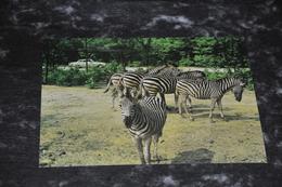 4866   ZEBRA'S IN BURGERS SAFARIPARK, ARNHEM - Zebra's