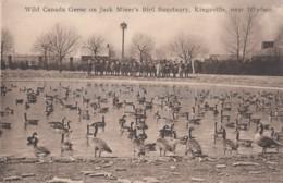 Wild Canada Geese On Jack Miner's Bird Sanctuary - Kingsville Near Windsor - Windsor
