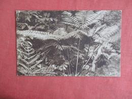 > Giant Fern Trinidad Ref 3145 - Trinidad