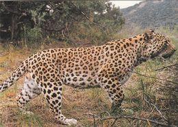 Cp , ANIMAUX , Léopard Du Caucase - Animals