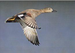 Cp , ANIMAUX , Canard Chipeau - Vogels