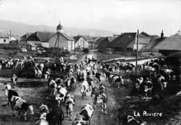 25 - La Rivière-Drugeon - Un Beau Troupeau Magnifiquement Rassemblé - Autres Communes