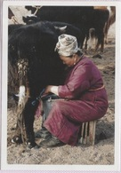 CPM - MONGOLIE - La Traite Du Yak Hiver 2002 ... - Mongolie
