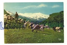 Moutons Au Pâturage Au Pied Des Neiges éternelles. Editions EDY - Elevage