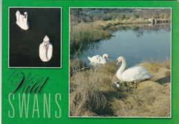 Birds Wild Swans In Southern New England - Birds
