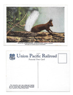White Tailed Kaibab Squirrel National Forest AZ Vintage Union Pacific Pictorial Postcard - Animals