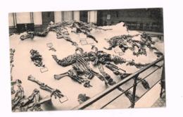 Musée Royal D'Histoire Naturelle.Palier Du Crétacé Inférieur. - Musea