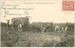 WW 23 GUERET. La Récolte Des Pommes De Terre Par Des Types Du Centre Avec Attelage De Boeufs 1905 - Guéret