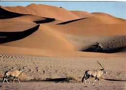 ZXN Namibia Kalahari Antilopen - Namibie