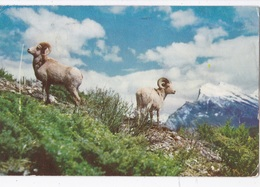 ROCKY MOUNTAIN BIG HORN SHEEP   VG AUTENTICA 100% - Edmonton