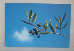 Culture Olive Tagiasca Cartolina - Cultures