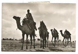 POSTCARD ETHIOPIA - CAMELS IN AROUSSI , 1955 . - Ethiopië