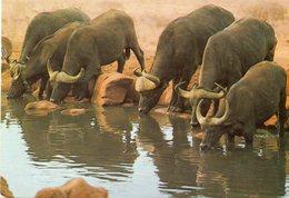 - KENIA. - MOMBASSA. - Buffalo's Drinking At Pool - - Kenya