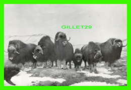 ANIMAUX - MUSKOX GROUP IN WINTER - NATIONAL MUSEUM OF CANADA, OTTAWA - - Animaux & Faune