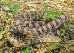 Cp , ANIMAUX , Boa Des Îles Vierges - Animals