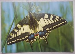 PAPILILO MACHAON - LE GRAND PORTE-QUEUE - SWALLOWTAIL - Farfalla - Butterfly - Papillon - Mariposa -  Nv - Butterflies