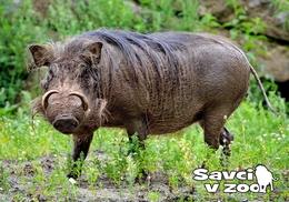 Zoo Dvur Kralove Nad Labem - Common Warthog - Tchéquie
