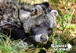 Zoo Dvur Kralove Nad Labem - African Civet - Tchéquie