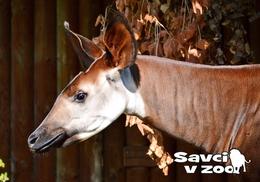 Zoo Dvur Kralove Nad Labem - Okapi - Tchéquie