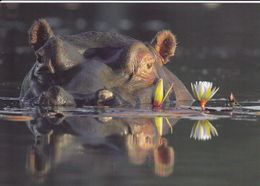Cp , ANIMAUX , Hippopotame Commun - Hippopotames