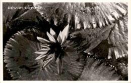 Hévíz - Lotusblume (2156) - Ungarn