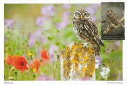 Chevêchette à Collier (Little Owl), Strigidae,  Belle Carte-maximum - Owls
