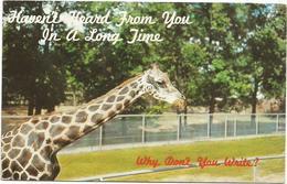 W855 Reticuled Giraffes Giraffe Giraffa / Viaggiata 1963 - Girafes