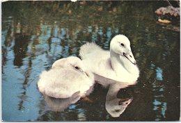 Animals - Birds, Two Trumpeter Swan Cygnets At The Wildfowl Trust, Slimbridge - Birds