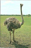 Animals - Birds, Ostrich, Whipsnade Zoo - Birds