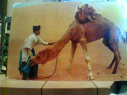 MAROCCO MAROC SAHARA CAMMELLO DROMEDARIO  VB1984 HA7668 - Marocco