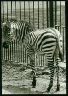 AKx Fauna | Junges Zebra, Zoologischer Garten Rostock (Knick Rechts Unten) - Zebre