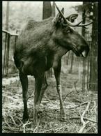 AKx Fauna | Elch, Zoologischer Garten Rostock, Tierpark, Zoo - Animali