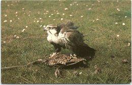 Animals - Birds, Lugger Falcon, Welsh Mountain Zoo, Colwyn Bay - Birds