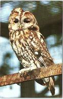 Animals - Birds, Tawny Owl, The Suffolk Wildlife And Country Park, Kessingland - Birds
