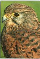 Animals - Birds, Kestrel - Birds