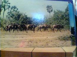 MOÇAMBIQUE MOZAMBIQUE - GORONGOSA - ANIMALS - GNU VB1967 ITALIA HA7679 - Mozambico